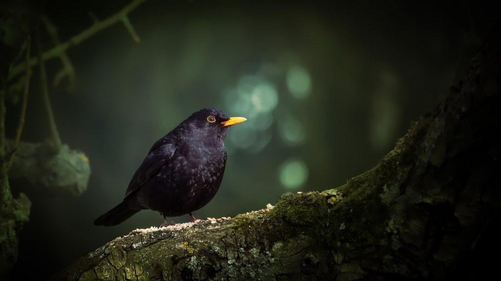 Черная желтая птица стоит на покрытом зелеными водорослями стволе дерева в размытом фоне боке птицы обои скачать