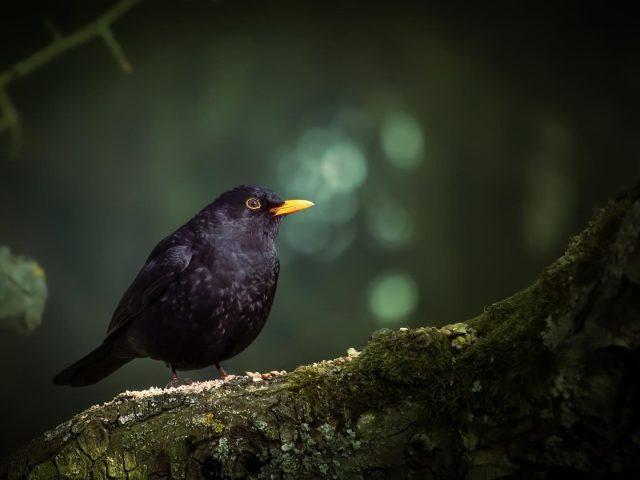 Черная желтая птица стоит на покрытом зелеными водорослями стволе дерева в размытом фоне боке птицы