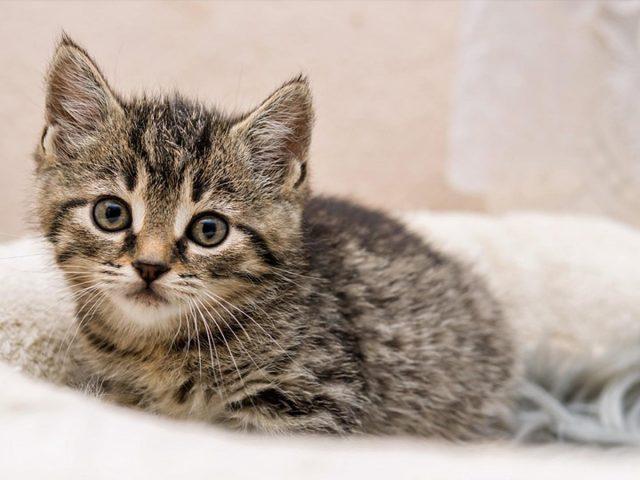 Котенок черно-коричневой кошки сидит на белом текстиле на размытом фоне котенка