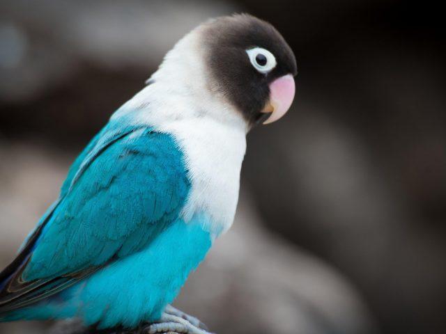 Красивая сине белая черная птица любви на сине черном фоне животные