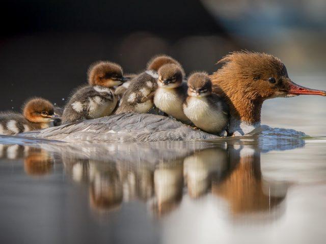 Животное утка