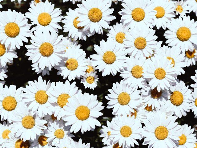 Цветы ромашки белые цветущие растения