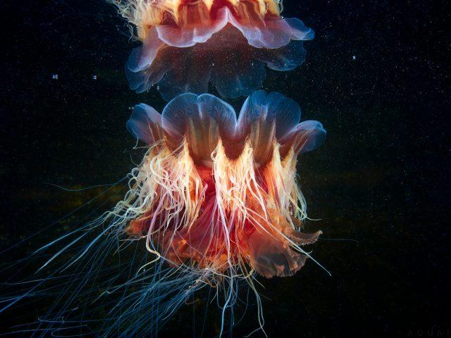 Lions mane jellyfish.