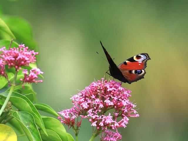 Коричнево-черная бабочка сидит на розовых цветах на зеленом фоне бабочки