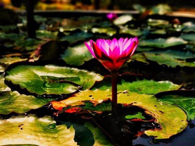 Лотос водяная лилия цветок цветы