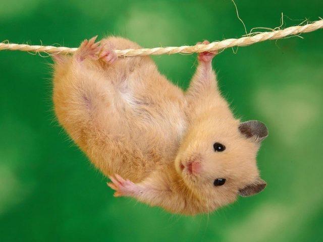 Маленькая коричневая крыса висит на пеньковой веревке на зеленом фоне животных