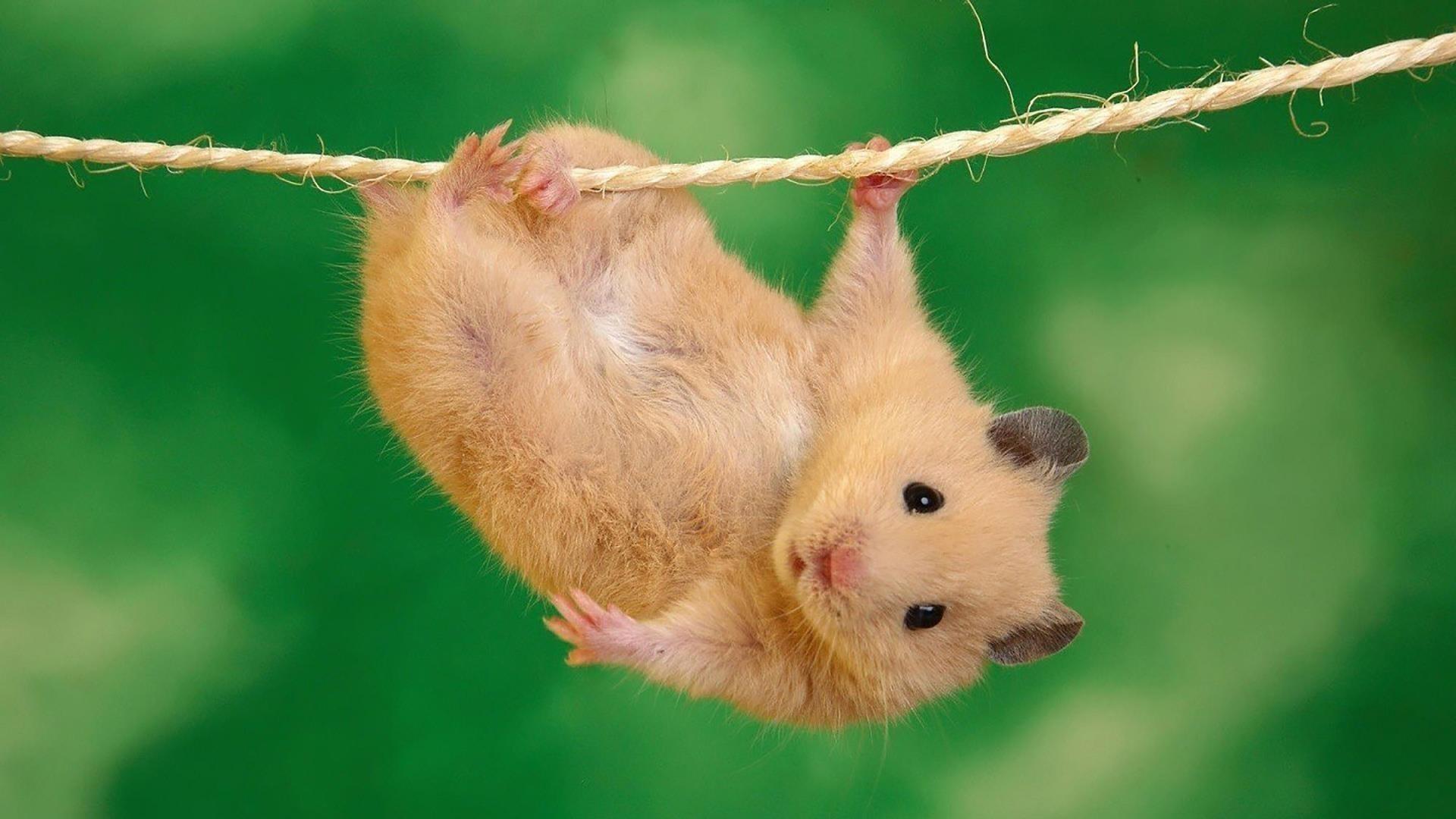 Маленькая коричневая крыса висит на пеньковой веревке на зеленом фоне животных обои скачать