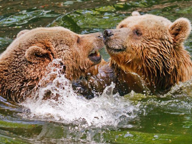 Два медведя гризли в воде