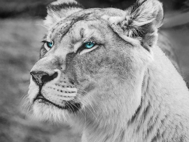 Голубоглазый Лев монохром