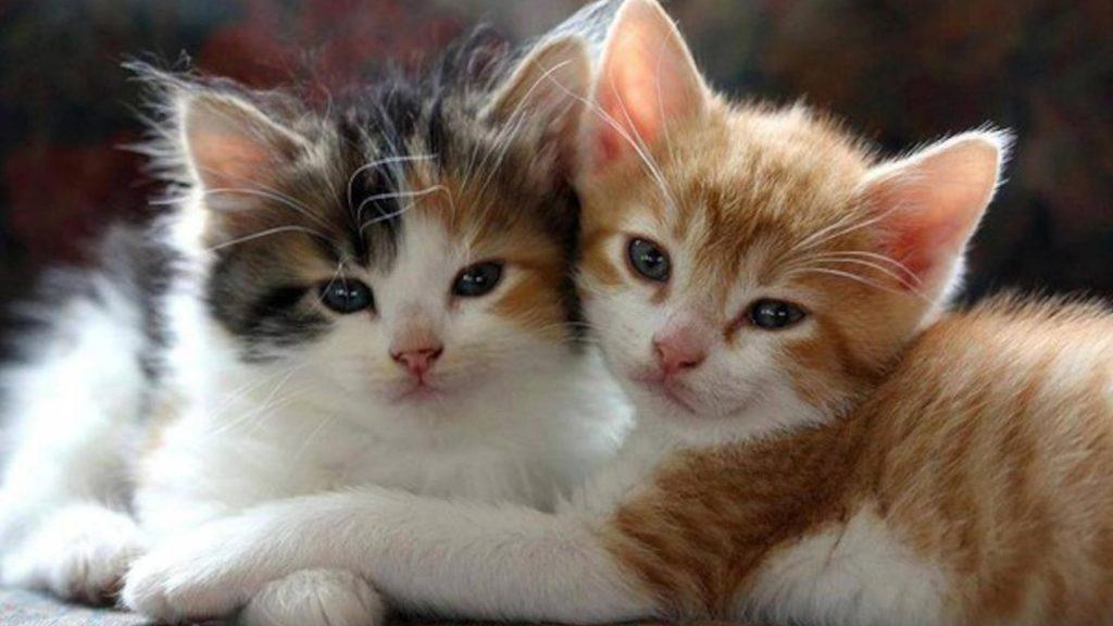 Две милые белые коричневые черные кошачьи котята котенок обои скачать