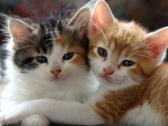 Две милые белые коричневые черные кошачьи котята котенок