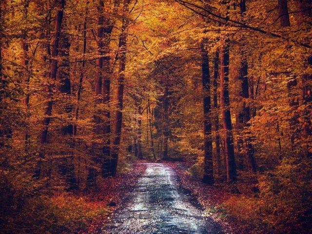 Дорога между желтыми осенними деревьями с осенней листвой лесная природа