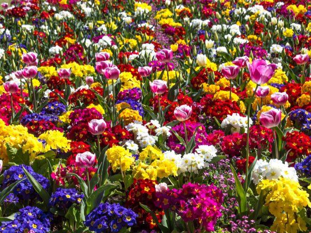 Красочные примула весенние цветы тюльпана цветы