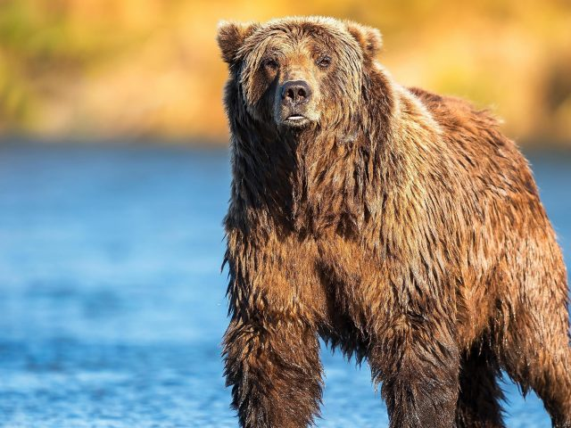 Животное мокрый медведь