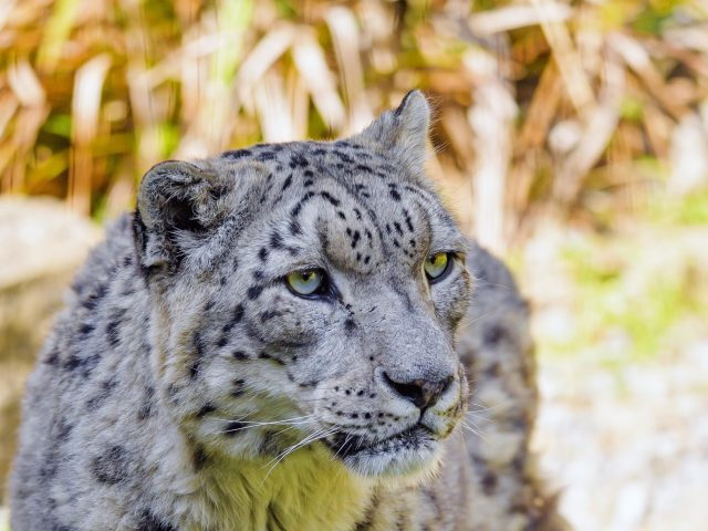 Снежный барс большая кошка хищник крупным планом фото в размытом фоне животные