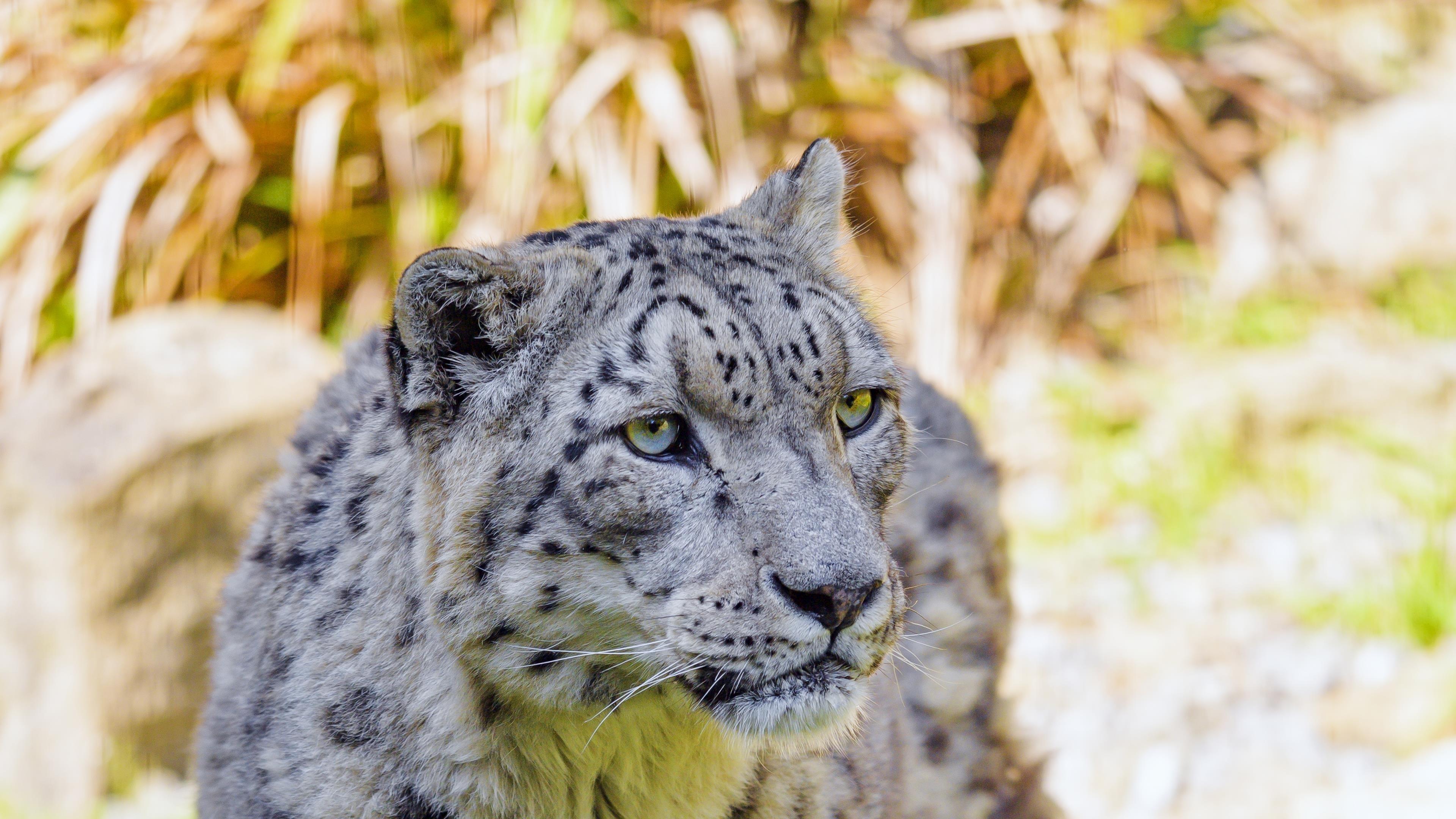 Снежный барс большая кошка хищник крупным планом фото в размытом фоне животные обои скачать