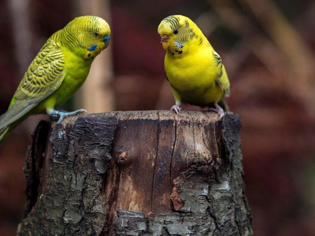Два зеленых синих волнистых попугайчика на стволе дерева в размытом фоне птицы