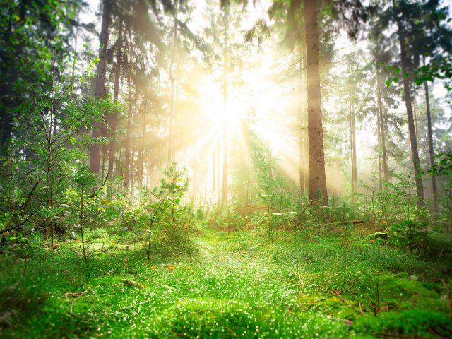 Лесная зелень Сосновый ствол с солнечным лучом природа