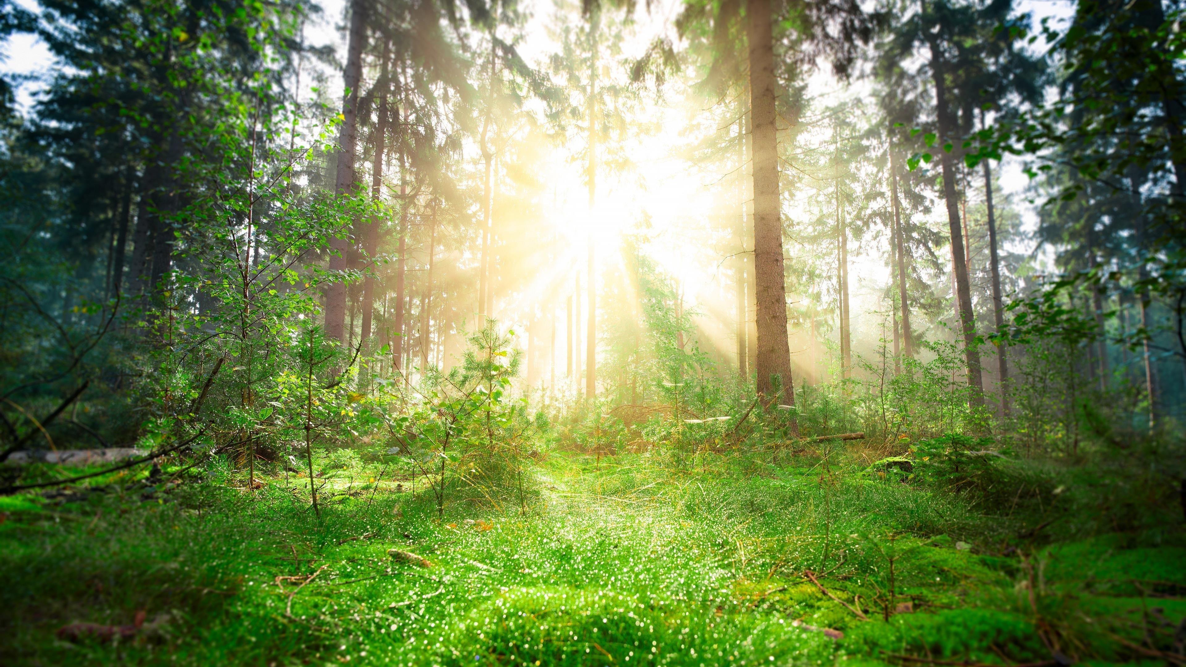 Лесная зелень Сосновый ствол с солнечным лучом природа обои скачать
