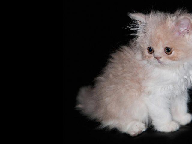 Белый меховой кот котенок на черной ткани милый кот