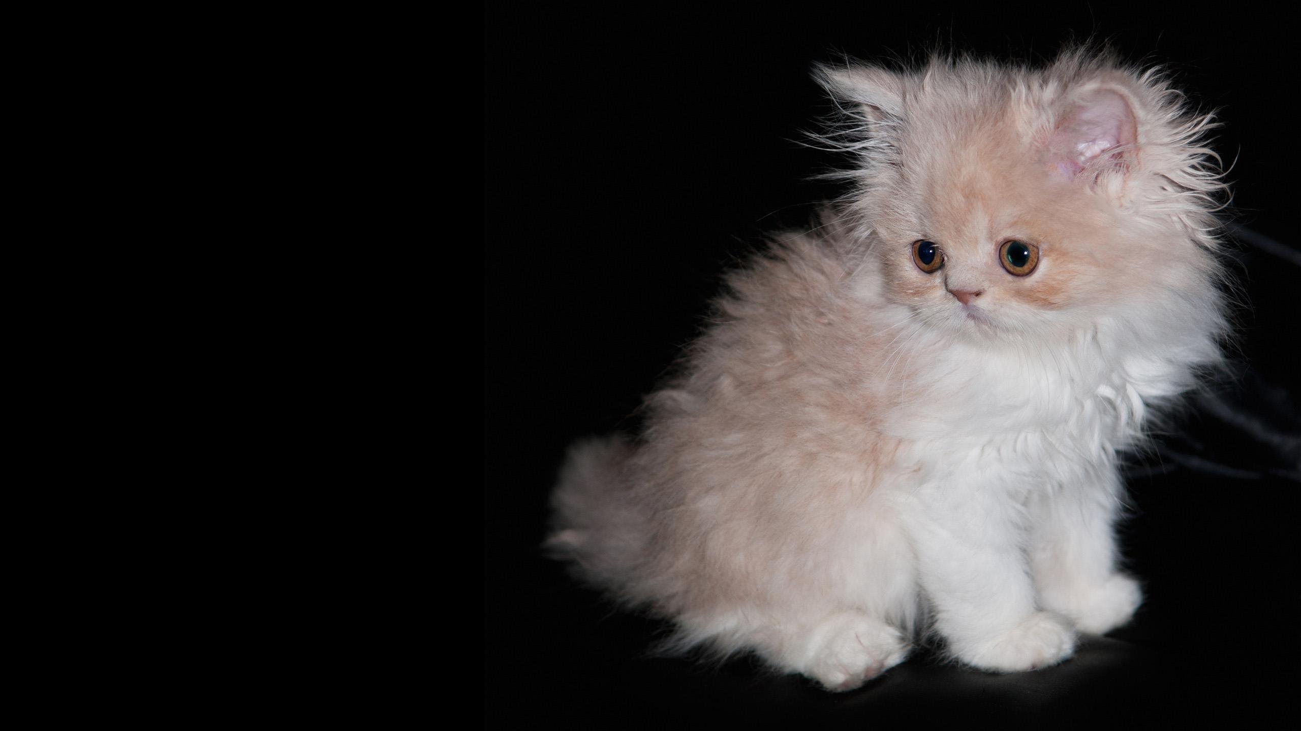 Белый меховой кот котенок на черной ткани милый кот обои скачать