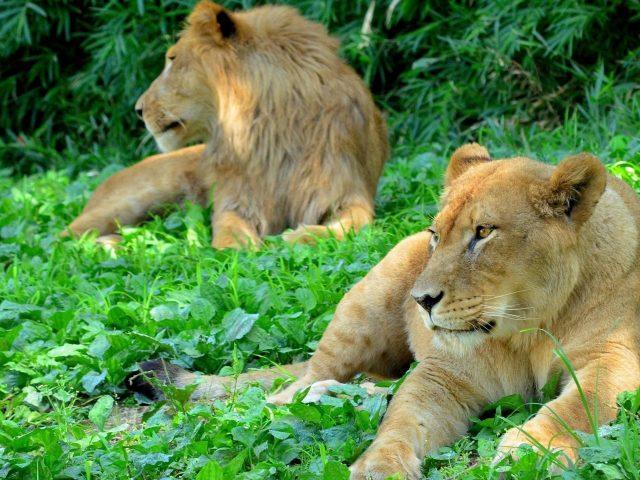 Зверь лесной Лев