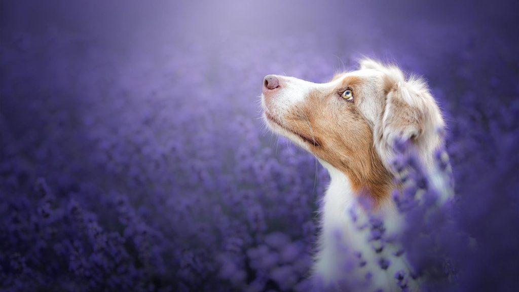 Австралийская овчарка смотрит вверх сидя на фиолетовом лугу полевая собака обои скачать