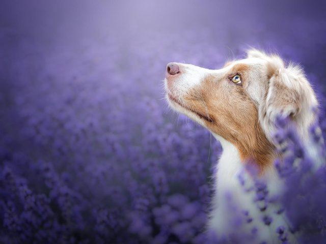 Австралийская овчарка смотрит вверх сидя на фиолетовом лугу полевая собака