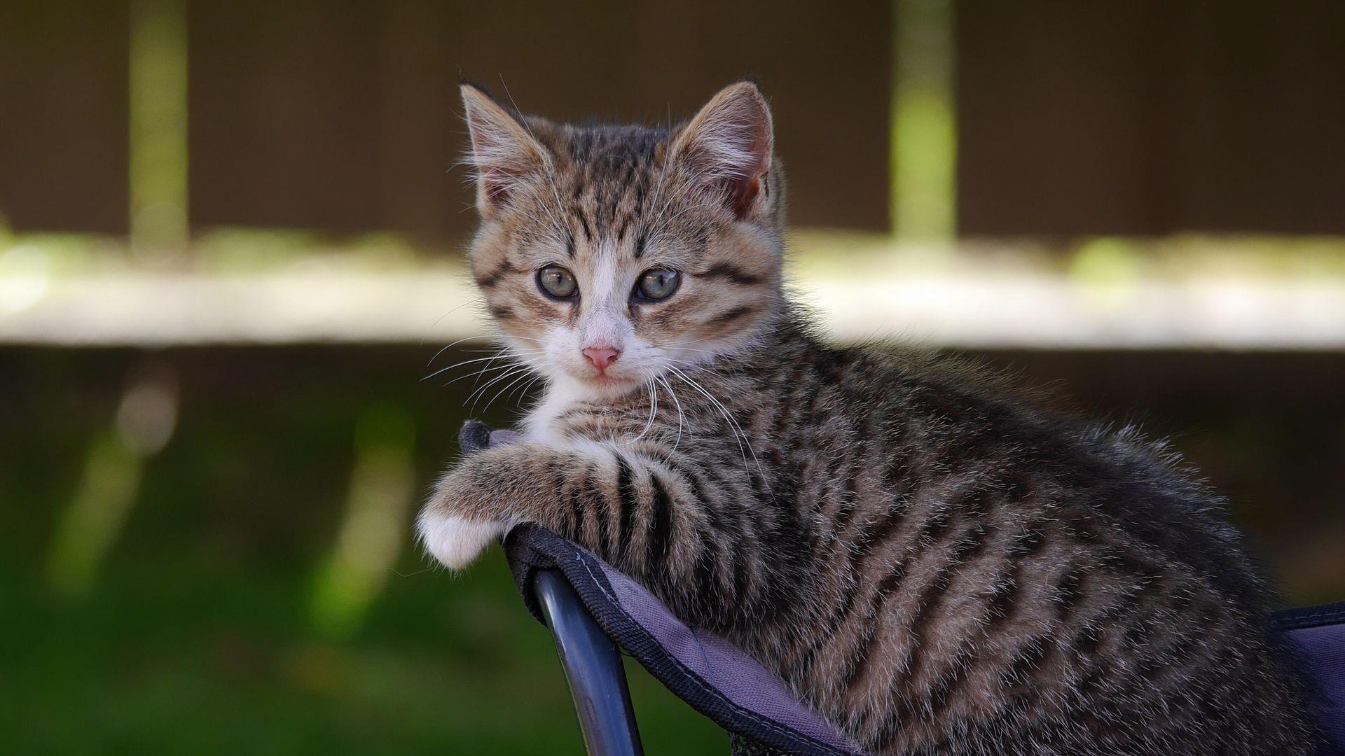 Котенок черно-коричневой кошки сидит на стуле на синем фоне котенка обои скачать