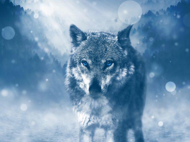 Дикий волк.