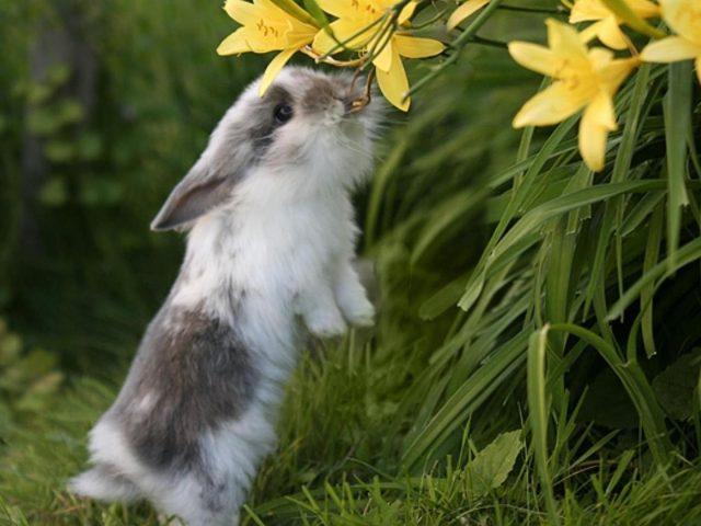 Милый бело-черный кролик кусает желтый цветок, стоя на зеленой траве животных