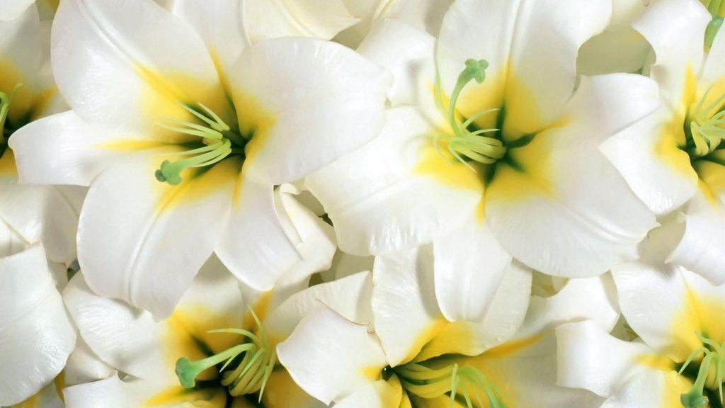 Цветы лилий белые тычинки крупным планом цветы обои скачать