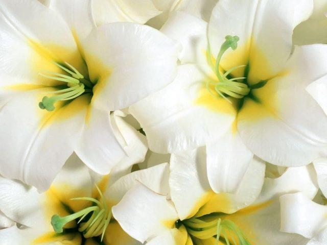Цветы лилий белые тычинки крупным планом цветы