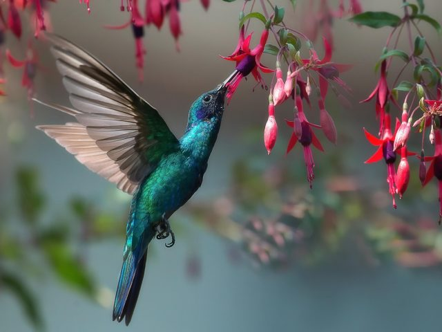 Животное колибри