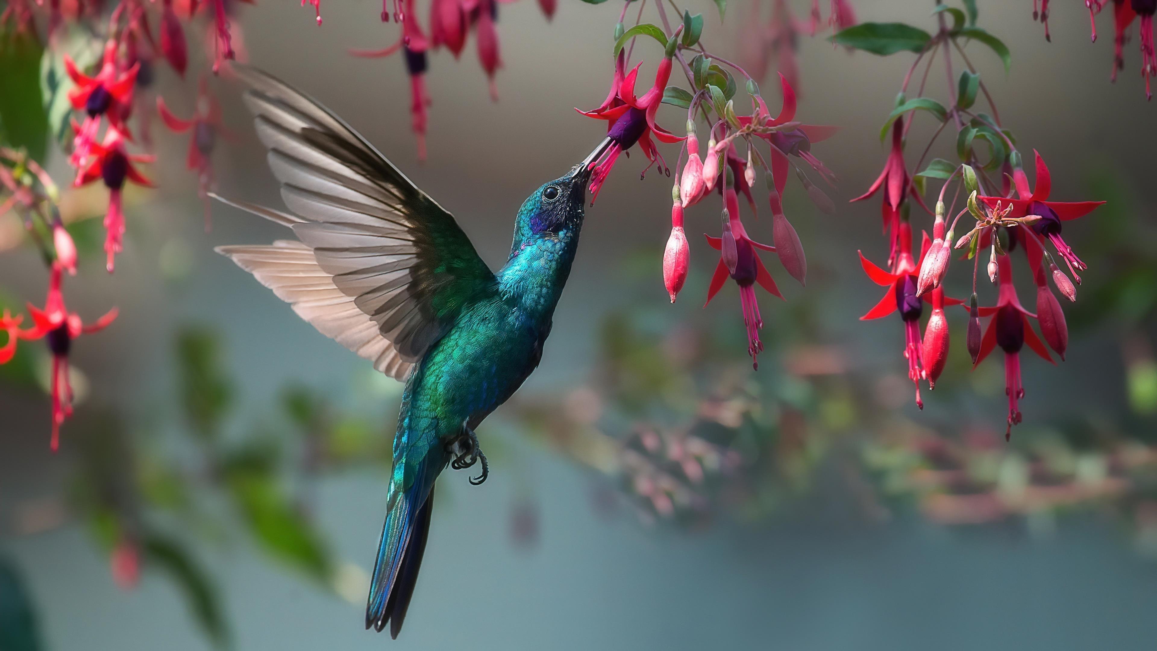 Животное колибри обои скачать