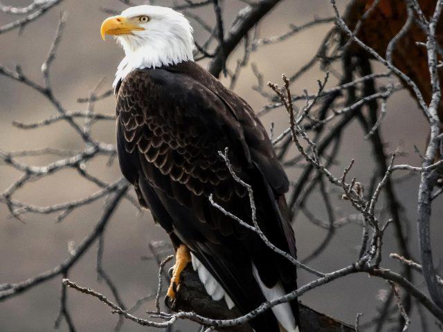Белоголовый орел на коричневой ветке дерева