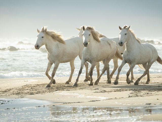 Милые белые лошади бегут по пляжному песку животные
