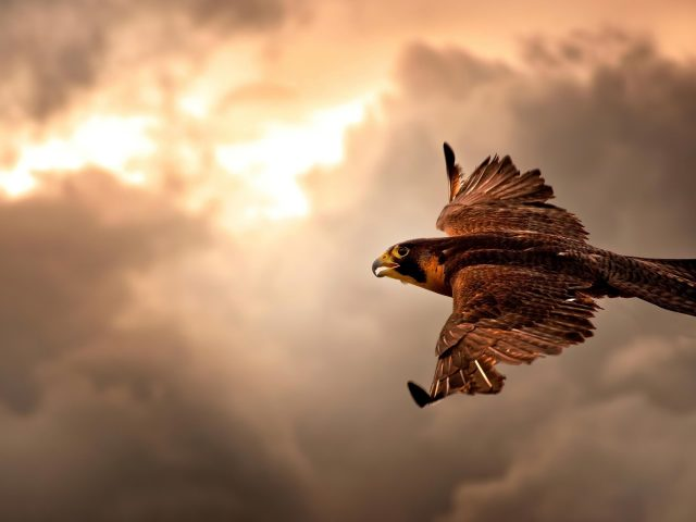 Ястреб летит в небе