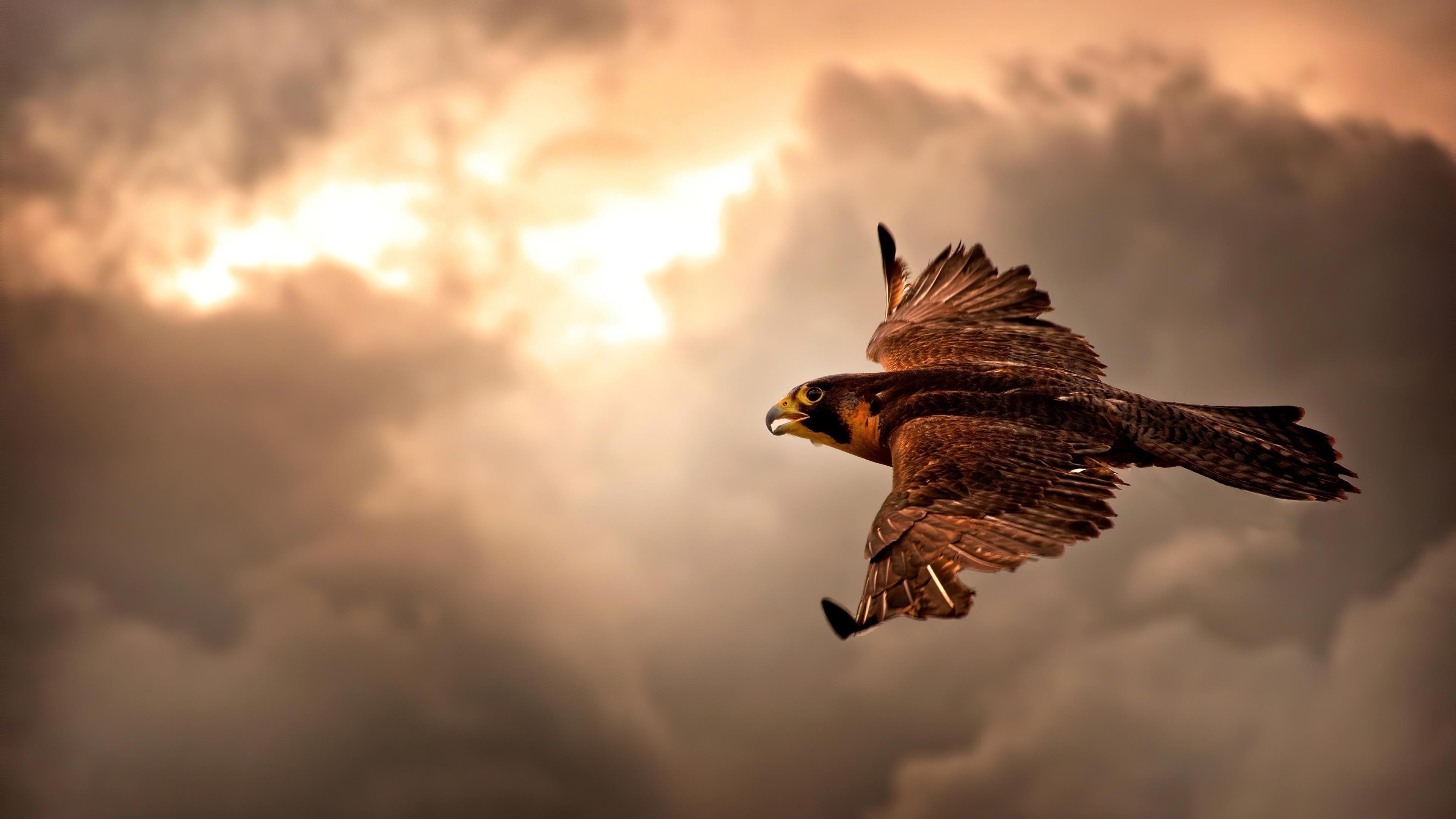 Ястреб летит в небе обои скачать