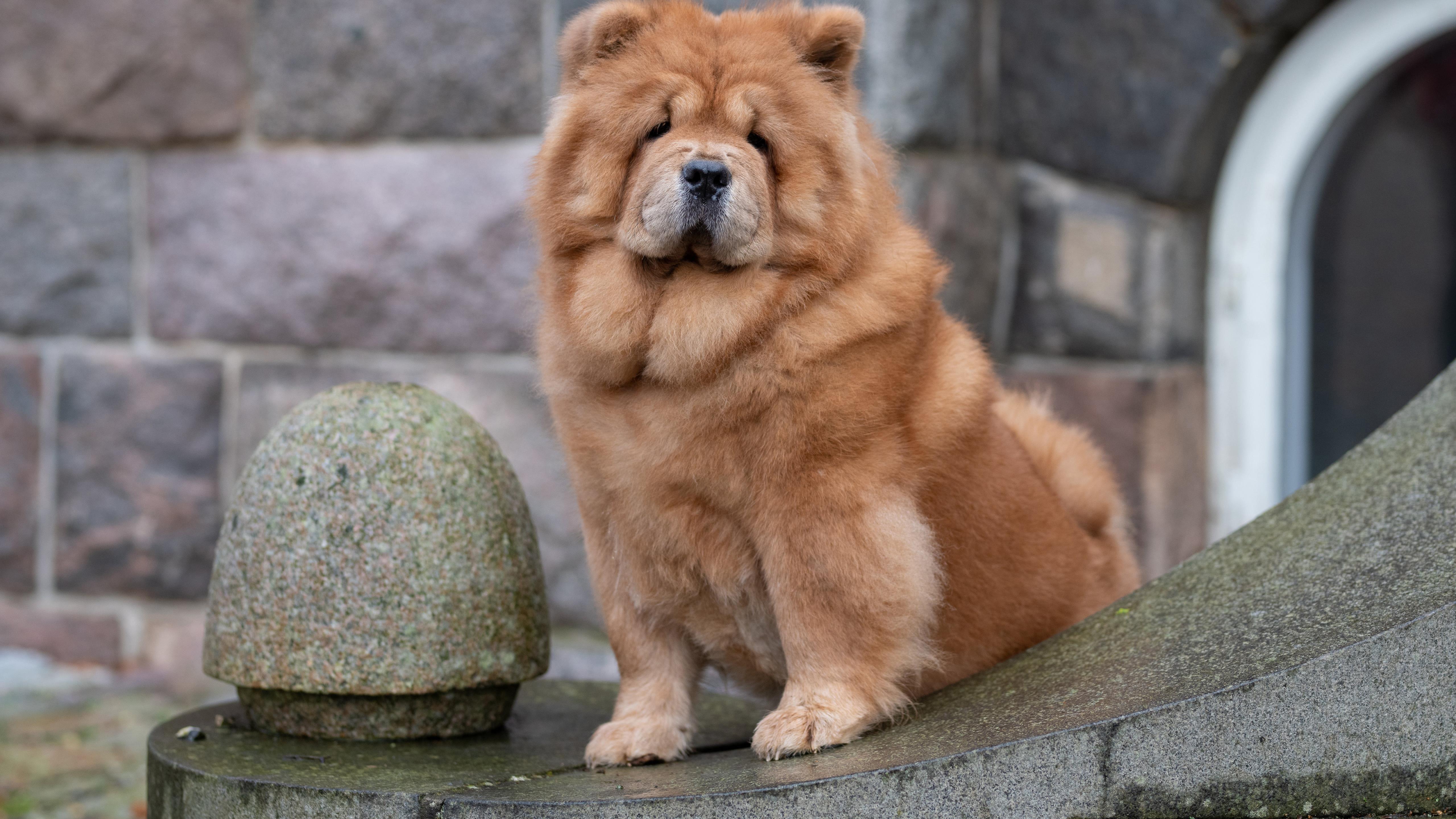 Коричневая собака чау-чау сидит на камне в стенах фоновой собаки обои скачать