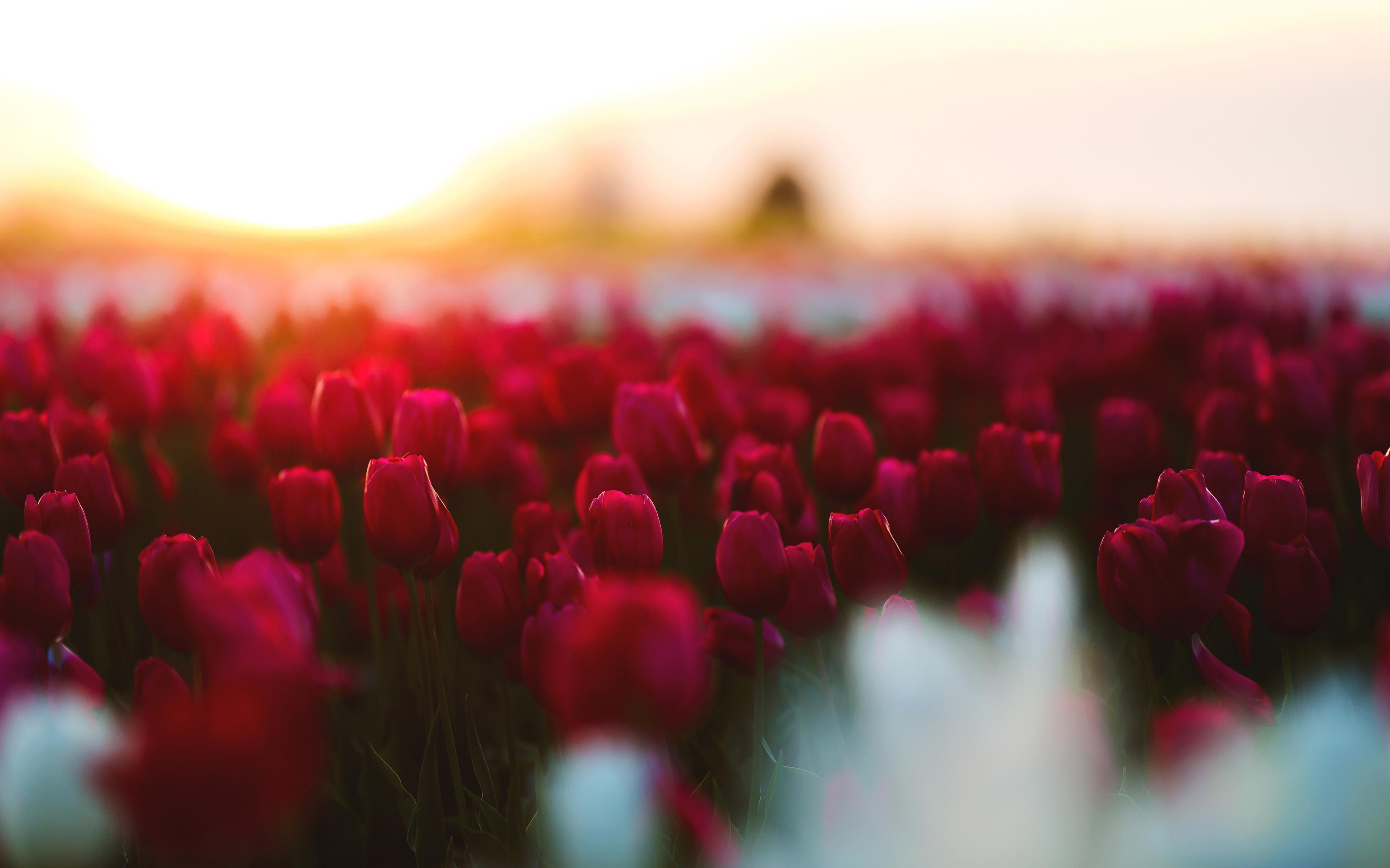 Сад тюльпанов обои скачать