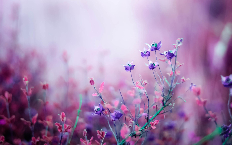 Розовый бегония цветы. обои скачать