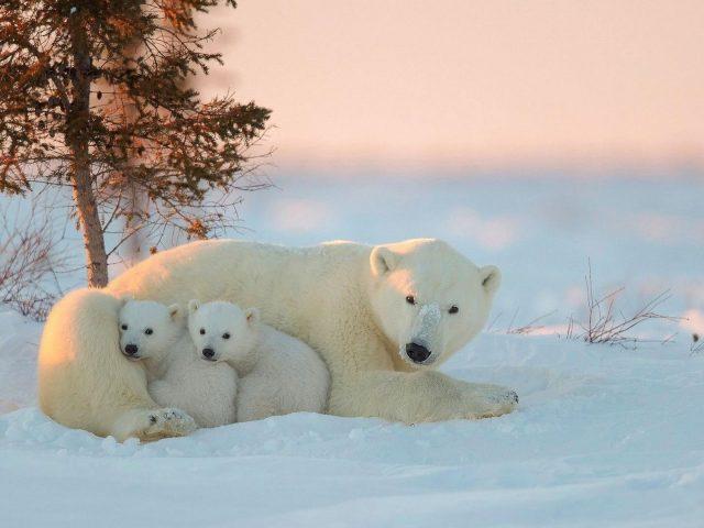 Белые медведи с детенышами