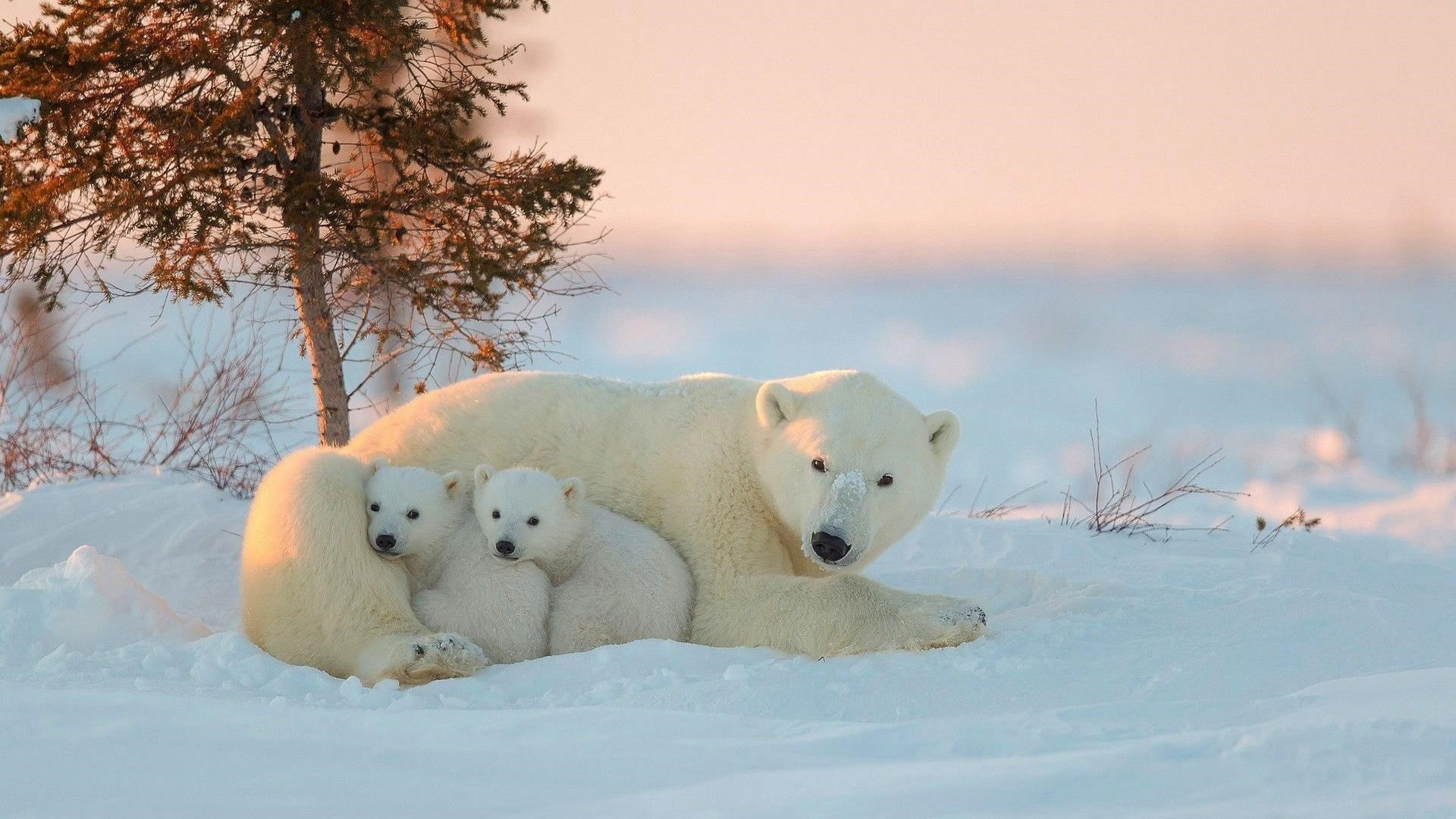 Белые медведи с детенышами обои скачать