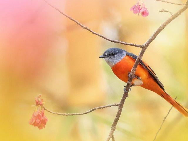 Оранжево черная птица отдыхает на деревьях разговаривают на сине желтом фоне птицы