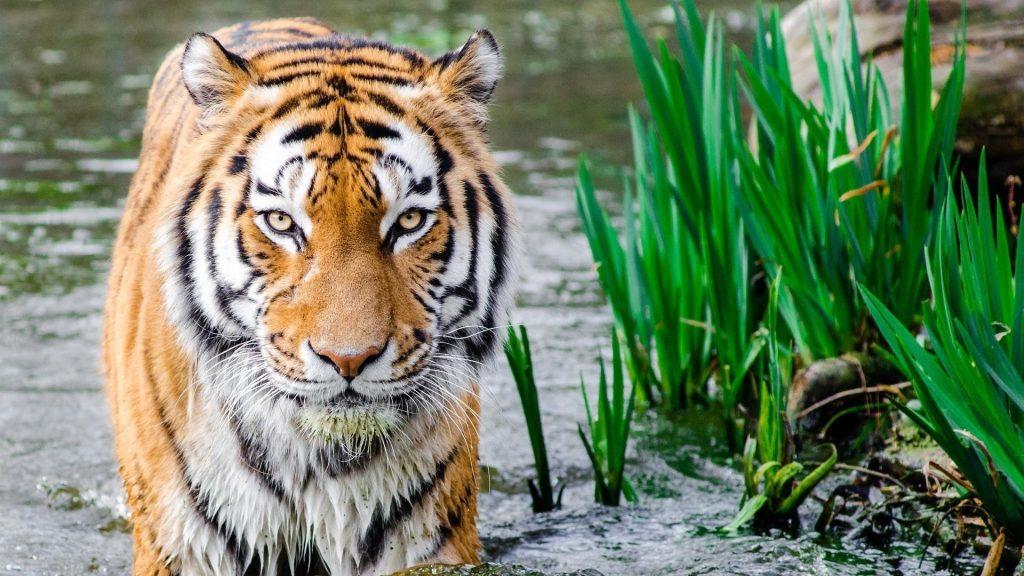Тигр стоит на воде рядом с травой тигр обои скачать