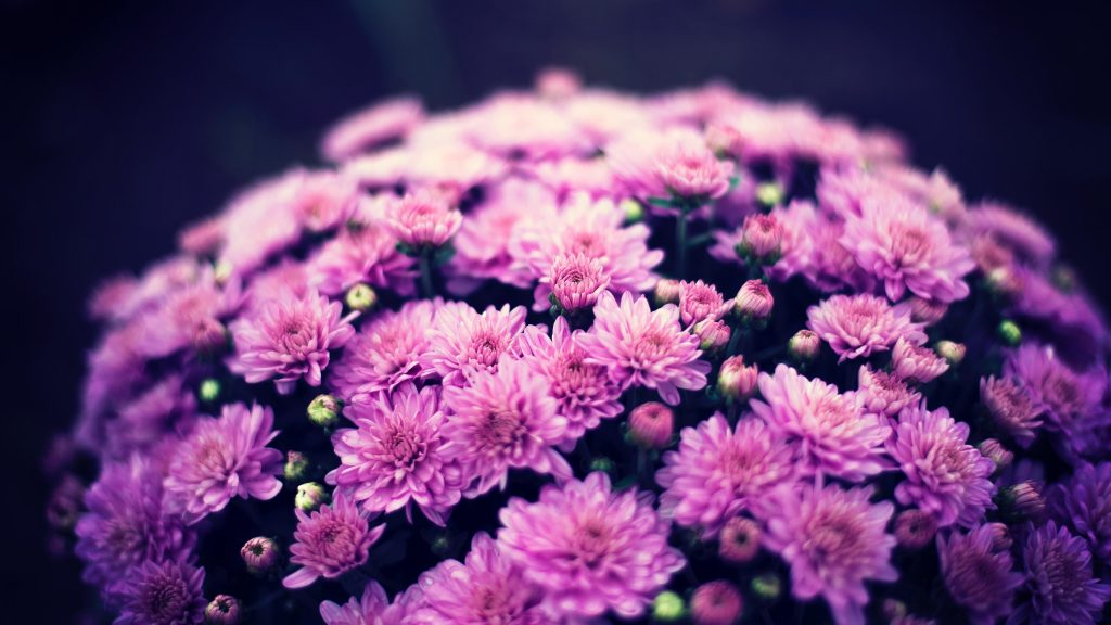 Хризантемы цветы обои скачать