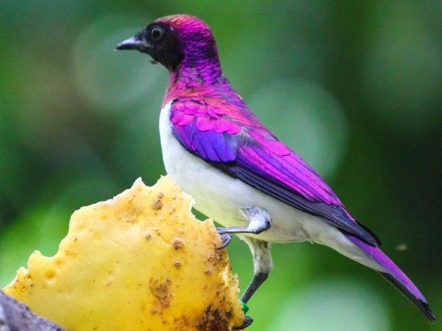 Фиолетовая подпертая птица скворец на дереве в сине зеленом фоне птицы