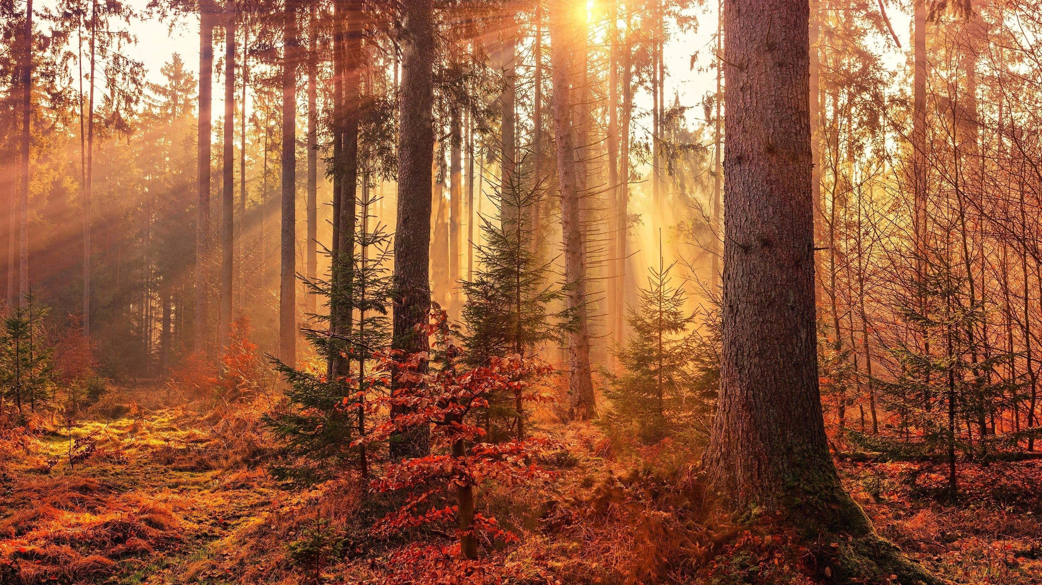 Осенние солнечные лучи лес световые лучи природа обои скачать