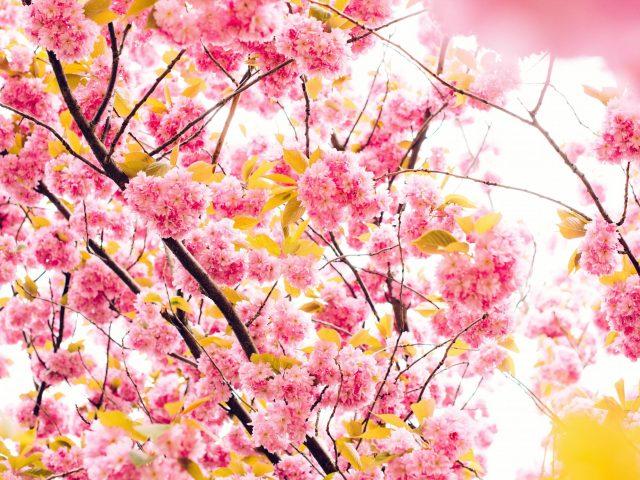 Цветы вишни 5к.